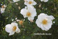 Fröökynän ruusu <i>(tilapäisesti loppu)</i>